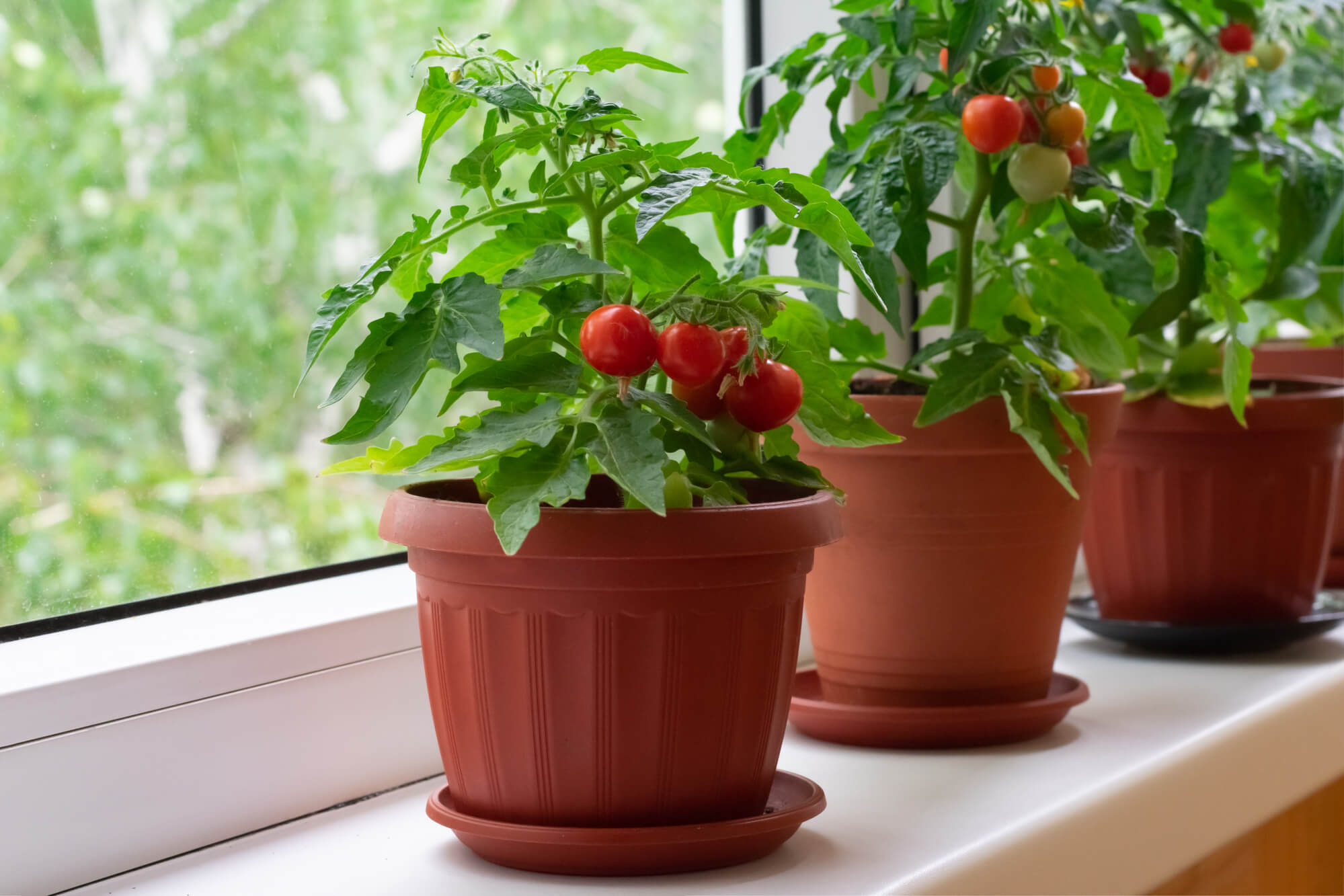 cherry tomato plants on windowsill